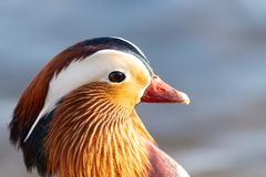 Mandarin Duck Aix galericulata portrait. Male Mandarin Duck Aix galericulata portrait with blurred background royalty free stock photo
