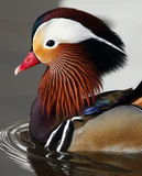 Mandarin Duck (Aix galericulata) Royalty Free Stock Photos