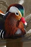 Mandarin Duck (Aix galericulata). The Mandarin is a medium-sized perching duck, closely related to the North American Wood Duck. The adult male is a striking Stock Photography