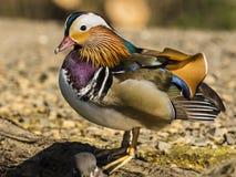 Mandarin Duck / Aix galericulata Royalty Free Stock Photos