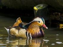 Mandarin Duck / Aix galericulata Stock Photos
