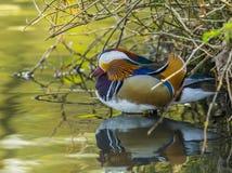 Mandarin Duck / Aix galericulata Stock Photography