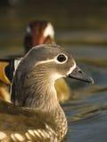 Mandarin Duck / Aix galericulata Royalty Free Stock Photography