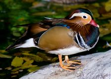 Mandarin Duck (Aix galericulata) royalty free stock images