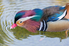 Mandarin Duck - Aix galericulata, Adult Male, wading in the pond. The mandarin duck Aix galericulata, or just mandarin, is a perching duck species found in East Stock Photography