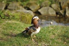 Mandarin duck (Aix galericulata) Royalty Free Stock Images