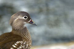 Mandarin Duck (Aix galericulata), a closeup of the female. The beautiful female Mandarin Duck (Aix galericulata) a closeup with her typical white eye-ring and royalty free stock photos