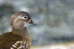 Mandarin Duck (Aix galericulata), a closeup of the female Royalty Free Stock Photos