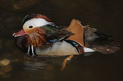 Mandarin Duck (Aix Galericulata). Considered one of the most beautiful ducks, and frequently featured in Oriental art, the Mandarin Duck (Aix galericulata) is Stock Image