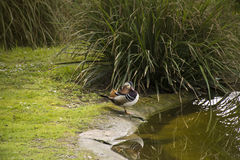 Mandarin Duck Aix galericulata drake Stock Photos