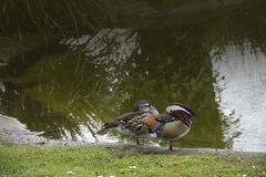 Mandarin Duck Aix galericulata drake standing on the Quayside Royalty Free Stock Photo