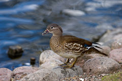 Mandarin Duck (Aix galericulata) , female. The beautiful female Mandarin Duck (Aix galericulata) with her typical white eye-ring and stripe running back from the stock images