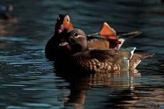 Mandarin duck, Aix galericulata female Royalty Free Stock Photography
