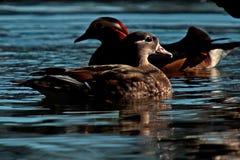Mandarin duck, Aix galericulata female Stock Photos