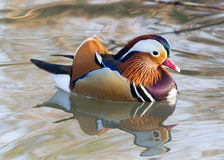Mandarin duck/Aix galericulata Stock Photos