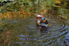 Mandarin duck (Aix galericulata) i Royalty Free Stock Images