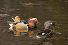 Mandarin duck Aix galericulata male and female Royalty Free Stock Photo