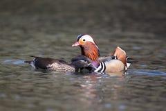 Mandarin duck, Aix galericulata Royalty Free Stock Photo