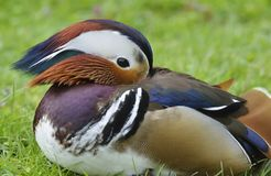 Mandarin Duck. Aix galericulata Stock Photo