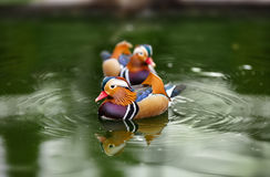 Mandarin duck, Aix galericulata, male on water Royalty Free Stock Photography