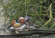 Mandarin Duck. Aix galericulata Pair on log Stock Image