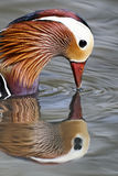 Mandarin duck, Aix galericulata Stock Photos