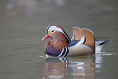 Mandarin duck, Aix galericulata Royalty Free Stock Photography