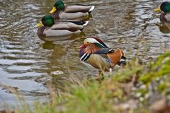 The mandarin duck Aix galericulata stands on the shore of a lake and wild duck. The mandarin duck Aix galericulata stands on the shore of a lake Stock Image