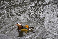 Mandarin Duck (Aix galericulata). Swimming quietly Royalty Free Stock Photos