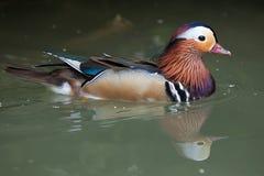 Mandarin duck Aix galericulata. Stock Photo
