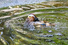 Mandarin Duck Bathing royalty-vrije stock afbeelding