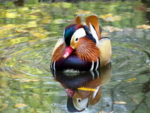 Mandarin duck. Bathing in the lagoon stock images
