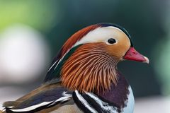 Portrait of Duck. Close up male mandarin duck Aix galericulata. Mandarin duck, belongs to the numerous Anatid family and is one of the most famous ducks in Stock Photography
