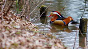 Mandarin duck on the brown ground in spring. Wonderful mandarin duck on the brown ground in spring Royalty Free Stock Photo