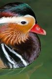 Mandarin Duck. In close up Stock Photos