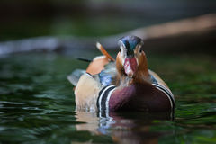 Mandarin duck. Close up shot of mandarin duck portrait Royalty Free Stock Photography