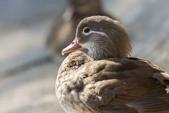 Mandarin duck closeup Stock Photo