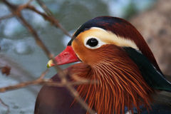 Mandarin Duck Closeup. The Mandarin Duck, or just Mandarin, is a medium-sized, East Asian perching duck, closely related to the North American Wood Duck Stock Photography
