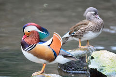 Mandarin Duck. Colorful duck, Mandarin Duck (Aix galericulata), standing on the rock, side profile Royalty Free Stock Photos