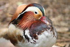 Mandarin duck, male Royalty Free Stock Photo