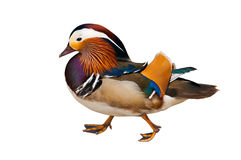 Mandarin duck. Colorful Mandarin duck standing isolated in white background royalty free stock photo