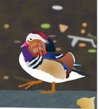 Mandarin duck. Mandarin colorful duck walking on rock royalty free illustration