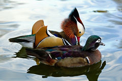 Mandarin duck couple Stock Photo