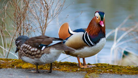 Mandarin  duck couple on the lake in spring. Mandarin  duck couple walking on the lake in spring time Royalty Free Stock Photography
