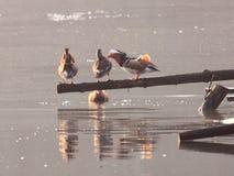 Mandarin Duck courtship Royalty Free Stock Image