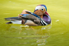 Mandarin Duck Drake Stock Photo