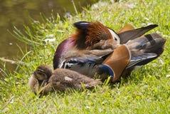 Mandarin Duck Drake Royalty Free Stock Photo