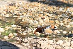 Mandarin Duck Drake (Aix Galericulata) Royalty Free Stock Images