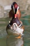 Mandarin Duck Drake (Aix Galericulata) Stock Images