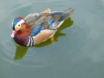 Mandarin duck drake swimming in a pond Stock Photography